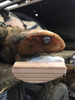 wooden block attached to hoof